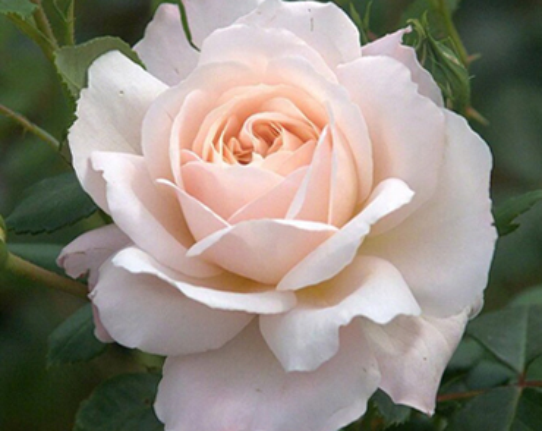 Trembling Rose, Linda Landenberg